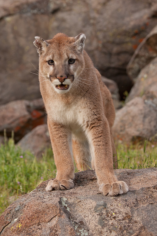 Mountain Lion stand, staring and snarling atop a boulder - CA