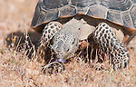 A male desert tortoise, Gopherus agassizi, inspects a piece of litter at the Desert Tortoise Natural Area, Mojave Desert, California. The tortoise is a state- and federally-listed Threatened Species.