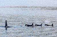 killer whale or orca, Orcinus orca, pod of whales, Johnstone Strait, British Columbia, Canada, Pacific Ocean
