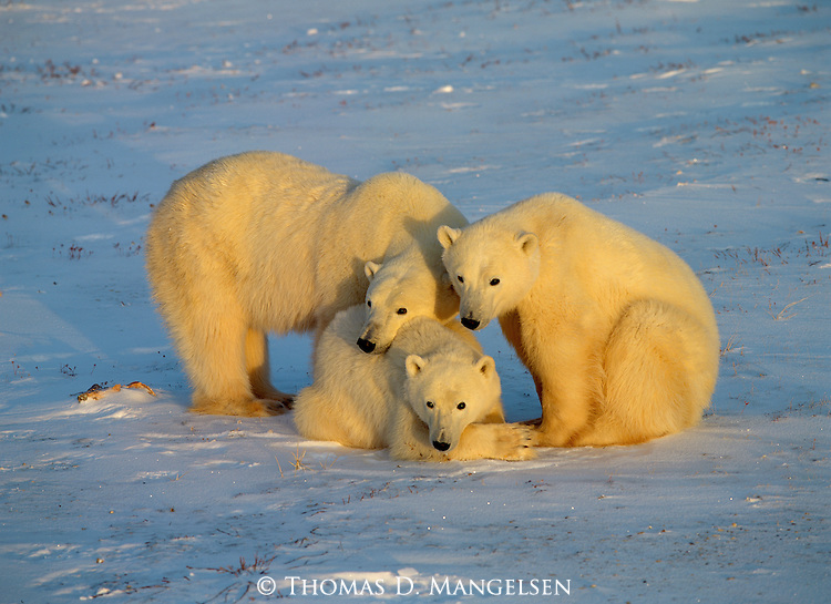 Three polar bears wait together for Hudson Bay to freeze for seal hunting in Manitoba, Canada.