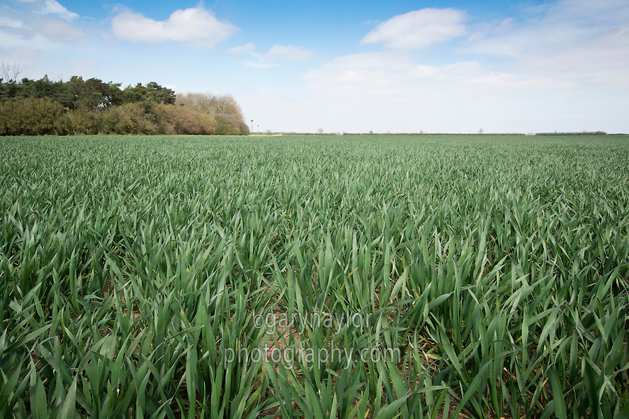 Winter wheat growth stage 31 - April