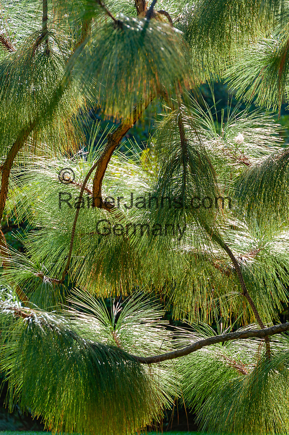 Italy, Piedmont, near Stresa: Isola Madre, the largest of the five Borromean Islands (Isole Borromee) of lake Lago Maggiore, pine tree (close-up) in park of Palazzo Madre | Italien, Piemont, bei Stresa: Isola Madre, die groesste der fuenf Borromaeischen Inseln im Lago Maggiore, Kiefer (Detail) im Park des Palazzo Madre, heute ein Museum