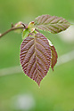 New foliage of Asian hazel (Corylus heterophylla), early April.