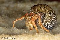1206-0906  Aquatic, Underwater Hermit Crab, Dwarf Red Tip Hermit Crab, Clibanarius spp.  © David Kuhn/Dwight Kuhn Photography