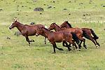 Horses, Rano Raraku