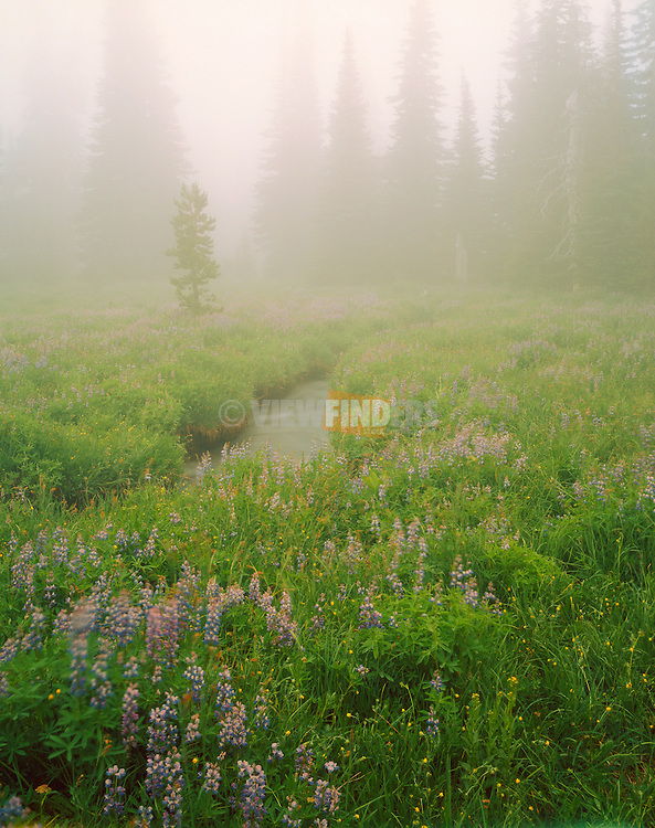 Lupin in the Mist, Canyon Creek Meadow