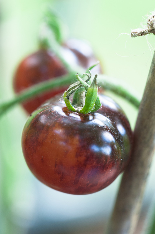 Tomato 'Indigo Rose', late September.