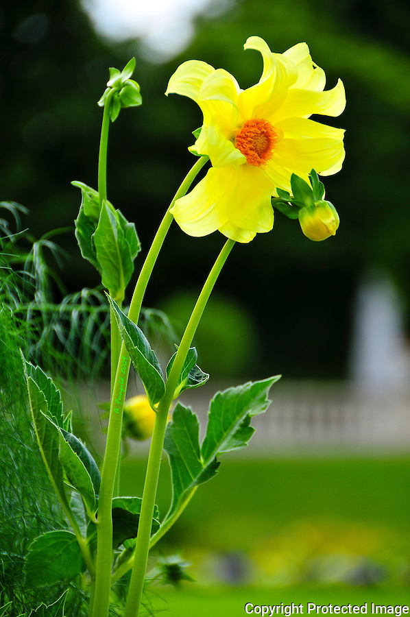 Yellow Flower, French Flower, Paris Gardens, Summer in Paris<br />