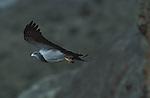 Black Chested Buzzard Eagle  (geranoaeutus melanoleucus) soaring,Torres del Paine National Park, Chile.