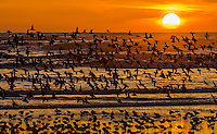 Mixed flock of shorebirds--mostly dunlins and western sandpipers--on northern migration along Pacific Ocean Coast,  Washington State.  Sunset.
