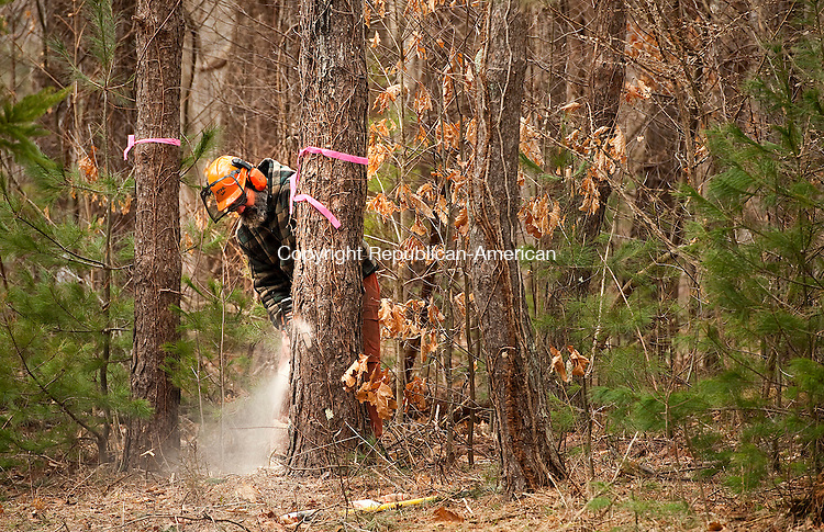HAMDEN,  CT,  CT-040715JS04- Carl Arsenault, a maintainer with the state park, cuts down a Scottish Pine infested with the Southern Pine Beetle Tuesday inside the Naugatuck State Forest in Hamden. <br /> Jim Shannon Republican-American