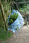Costa Rican banana plantation. Bananas on the way to the shed for processing and packing...bananas, Costa Rica, tropics, Caribbean, Del Monte