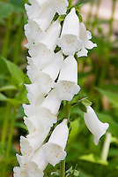 Foxglove in flower, closeup of Digitalis purpurea - White form, albiflora