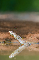 414140003 a wild western coachwhip snake masticophis flagelum testaceus bathes and drinks in a small pond in the rio grande valley of south texas