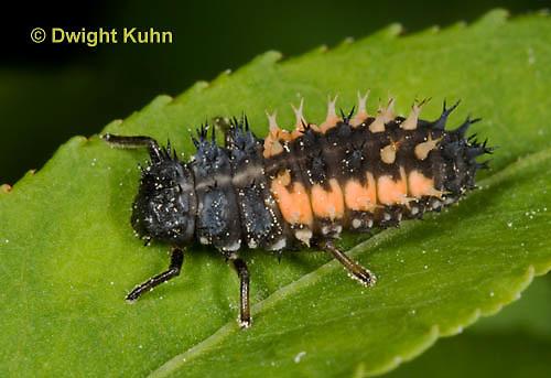 1C02-511z  Asian Ladybug Larva, Harmonia axyridis