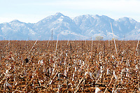 1/2/2011- Desert mountains form a background to the Callaghan Vineyards in Sonoita, Arizona. (Photo by Pat Shannahan)