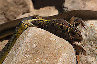 The Eastern Yellowbelly Racer is a subspecies of racer, a nonvenomous colubrid snake. Southern Leopard Frog prey.