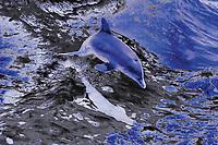 Digital composition Liquid Blue - spinner dolphin, Stenella longirostris, Kona Coast, Big Island, Hawaii, USA, Pacific Ocean