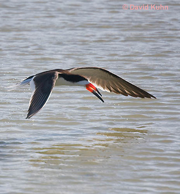 0908-0901  Black Skimmer Flying Foraging for Food (Fish), With Small Fish in Beak, Rynchops niger © David Kuhn/Dwight Kuhn Photography