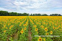 63801-11206 Sunflowers in field Jasper Co.  IL
