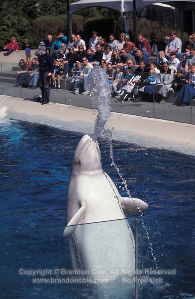 lw162. Beluga Whale (Delphinapterus leucas), playfully spitting water, captive animal, aquarium photo..Photo Copyright © Brandon Cole. All rights reserved worldwide.  www.brandoncole.com