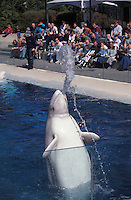 lw162. Beluga Whale (Delphinapterus leucas), playfully spitting water, captive animal, aquarium photo..Photo Copyright © Brandon Cole. All rights reserved worldwide.  www.brandoncole.com
