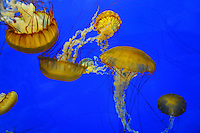West coast sea nettle jelly fish (Chrysaora fuscescens)
