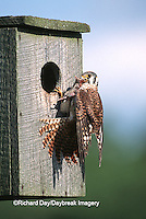 00818-01018 American Kestrel (Falco sparverius) female with mouse at nest box, Marion Co.   IL