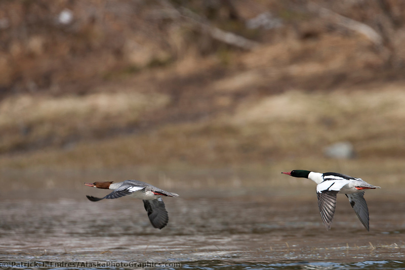 Common merganser pair, Prince William Sound, southcentral, Alaska