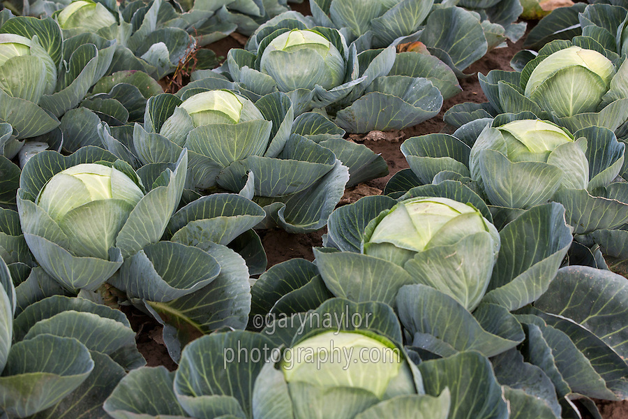 Dutch white cabbage ready for harvest - October