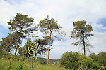 Israel, Pine trees on Mount Carmel