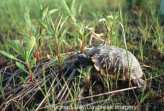 02539-002.06 Ornate Box Turtle (Terrapene ornata) Prairie Ridge State Natural Area, Marion Co. IL