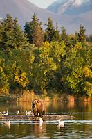 Brown bear, Brooks River, Katmai National Park, Alaska.