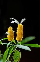 Flor camarão-amarelo, planta-camarão  ( Pachystachys lutea). SP. Foto de Juca Martins.