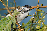 591510020 a wild male blackpoll warbler setophaga striata - was dendroica striata - in breeding plumage perches in a flowering tree on south padre island texas united states