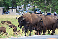 Bison in the Black Hills at Custer State Park near Custer, South Dakota on August 13, 2010.