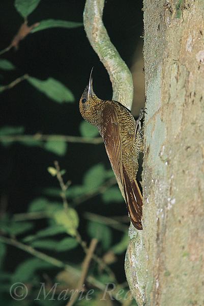 Northern Barred Woodcreeper (Dendrocolaptes sanctithomae), Soberania National Park, Panama.<br /> Slide # B99-201