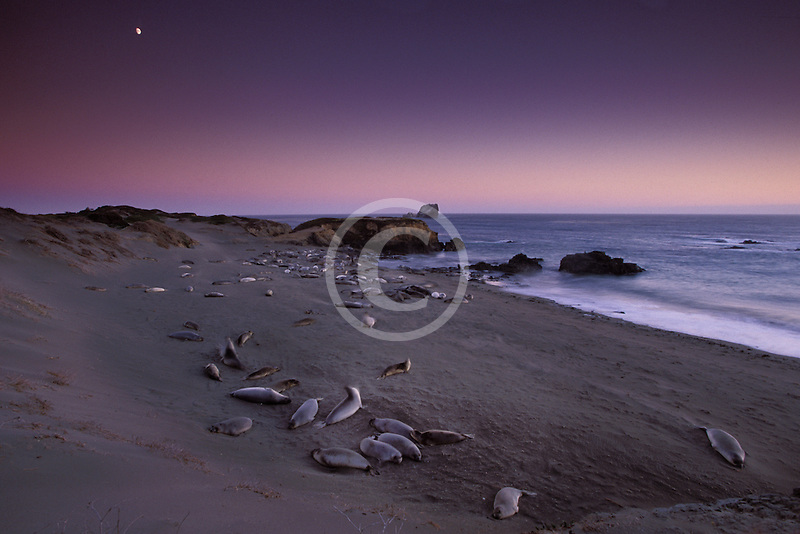 California, San Luis Obispo County, San Simeon, elephant seals with moonrise