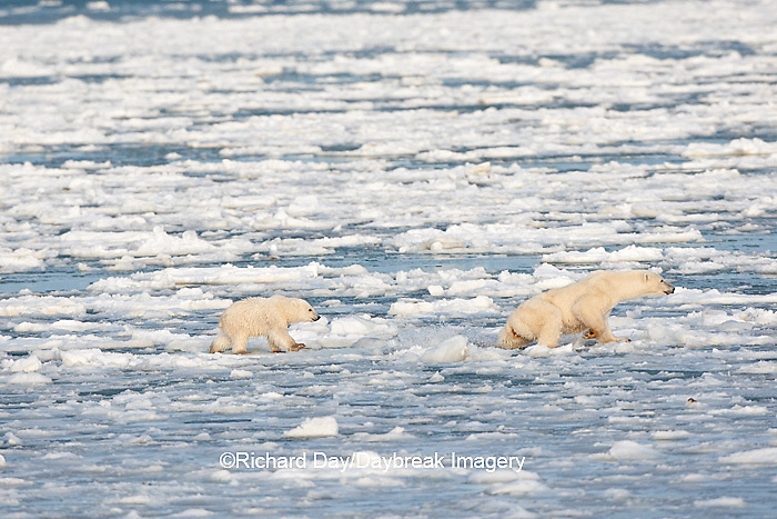 01874-12113 Polar Bear (Ursus maritimus) mother and cub jumping on ice in Hudson Bay  in Churchill Wildlife Management Area, Churchill, MB Canada