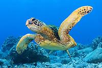 green sea turtle, Chelonia mydas, endangered species. Maui, Hawaii, USA, Pacific Ocean