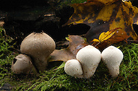 Gem-studded puffballs (Lycoperdon perlatum) ready to release spores. On the right, immature specimens which are pure white and edible at this stage. On the left, matured spore cases have turned olive-brown, and the interior powdery. Raindrops, wind currents, or animal contact cause dispersal of spores through holes which open at top of the spore case. Hocking State Forest, Ohio, USA.