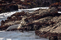 A harbor seal climbs out of the water and onto the rocks at Bean Hollow State Beach, California.