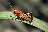 Giant Grasshopper on a leaf along the Bebedero River, Costa Rica.