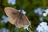 Großes Ochsenauge, Grosses Ochsenauge, Männchen beim Blütenbesuch auf Vergissmeinnicht, Nektarsuche, Bestäubung, Maniola jurtina, Epinephele jurtina, meadow brown