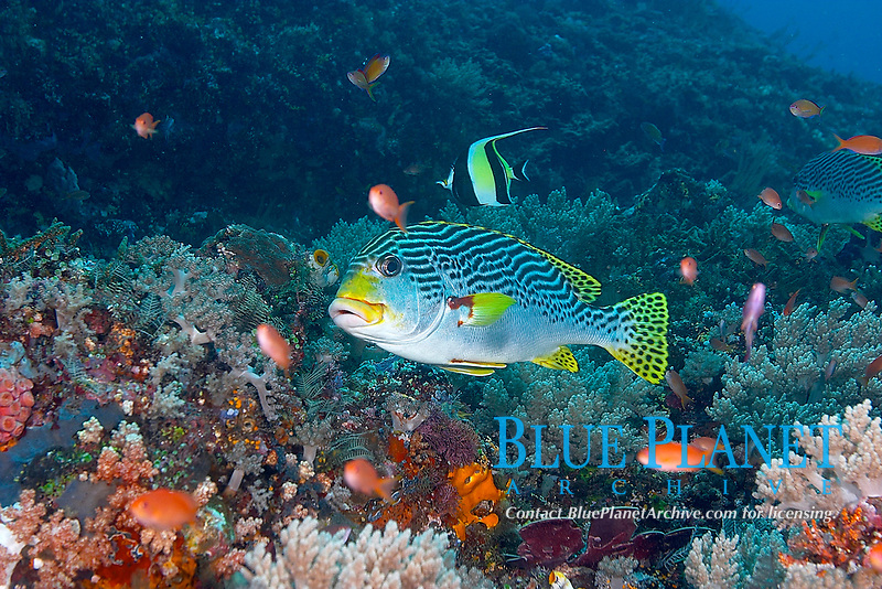 Daigonal banded sweetlips (plectorhinchus lineatus) (plectorhinchus goldmanni) Hanging in the blue over the reef, Tanjung arus, Talise island, Celebes sea, Pacific Ocean, Sulawesi, Indonesia, Asia