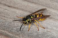 Deutsche Wespe, Vespula germanica, Vespa germanica, Paravespula germanica, German wasp, European wasp