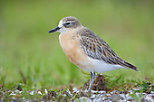 Now considered as an endangered species a New Zealand Dotterel stands on top of a shellbank at Miranda Seabird Coast reserve, on the shores of the Firth of Thames, New Zealand.