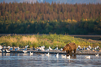 Brown bear, Brooks river, Katmai National Park, Alaska.