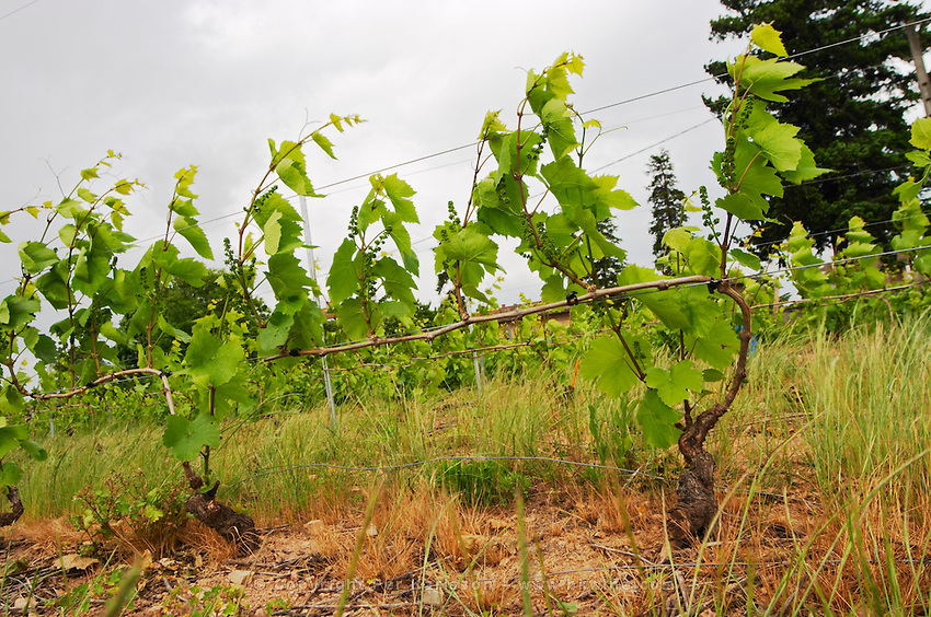 gamay cordon simple training vineyard trellised moulin a vent beaujolais burgundy france