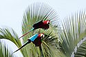 Red-and-Green Macaws (Ara chloropterus), Blanquillo Clay Lick, Manu Biosphere Reserve, Peru. November.